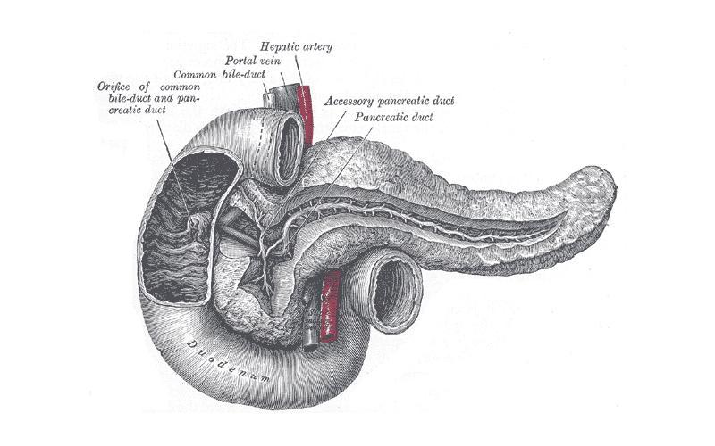 An illustration of a pancreas