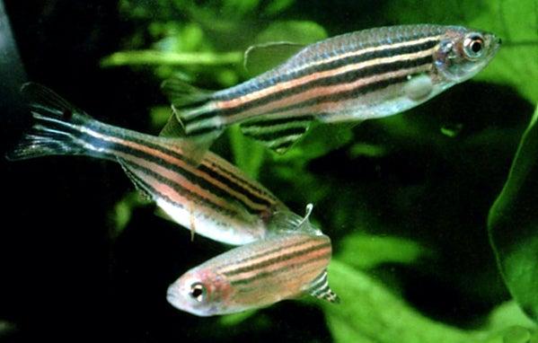 Green zebrafish swimming